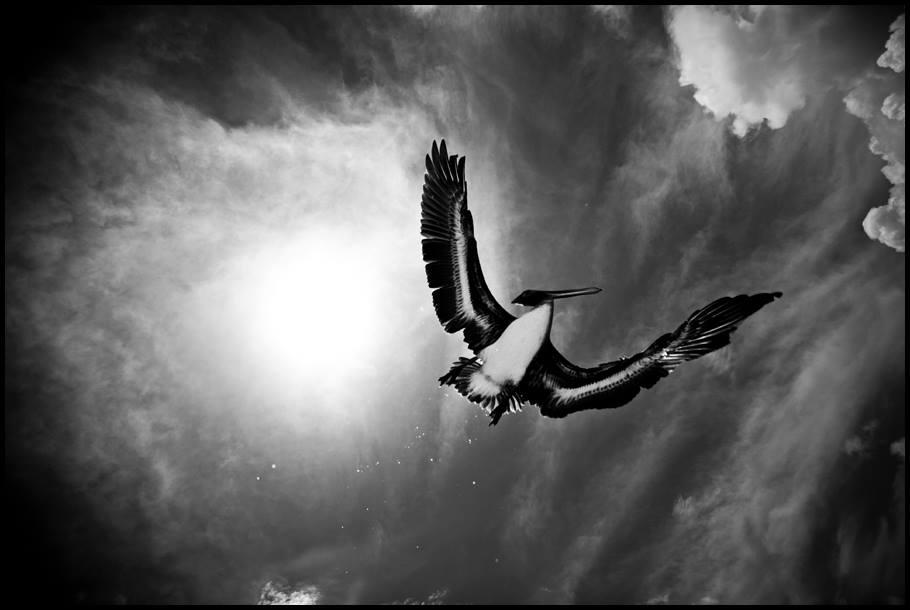 B&W Pelican