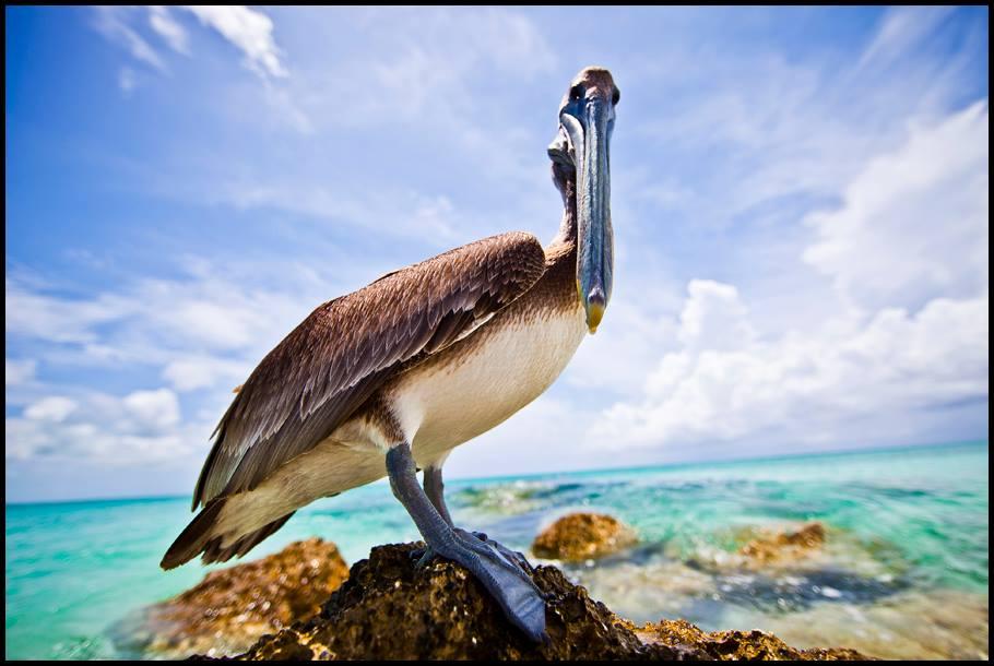 Pelican Look