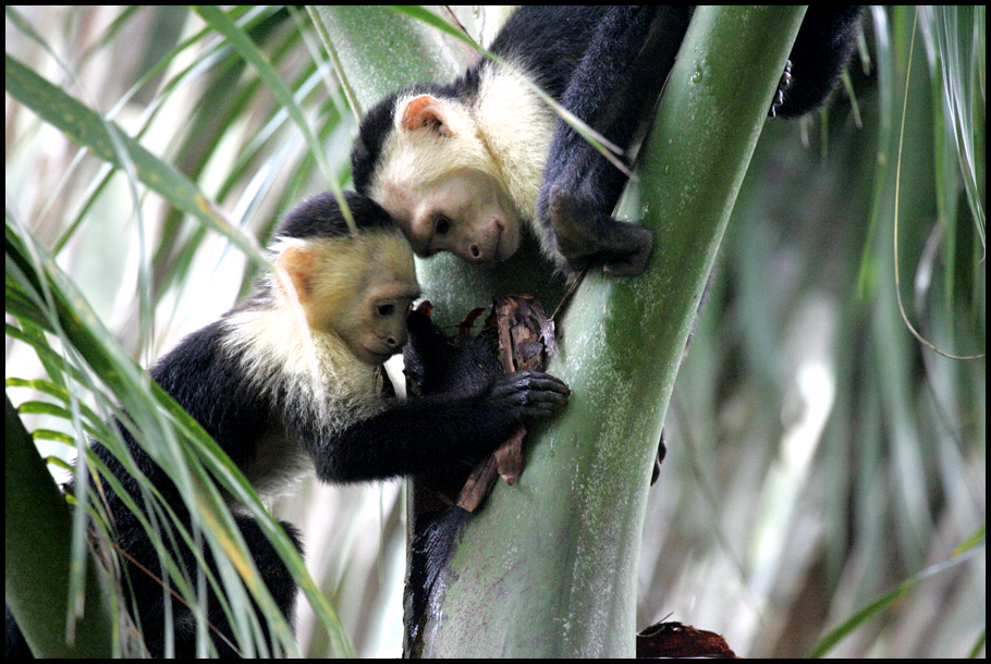 1 capuchin heads touching