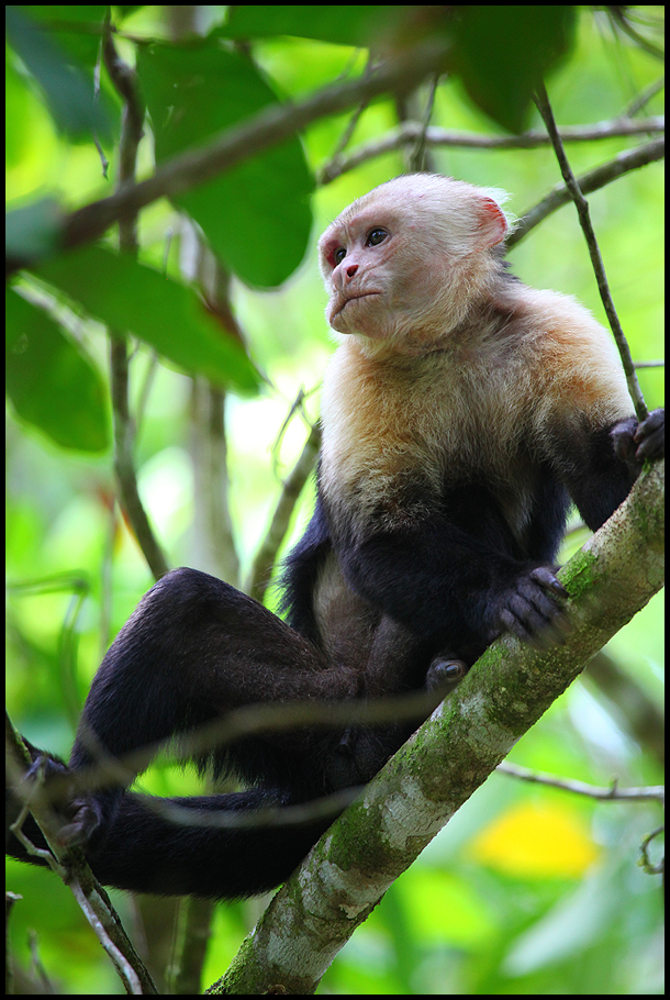 2 capuchin old