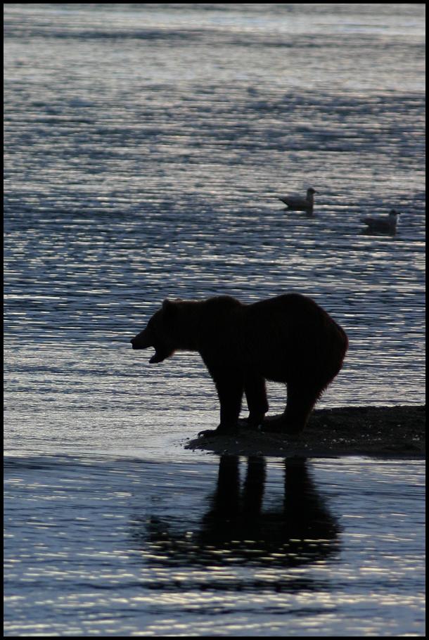 bear silouette