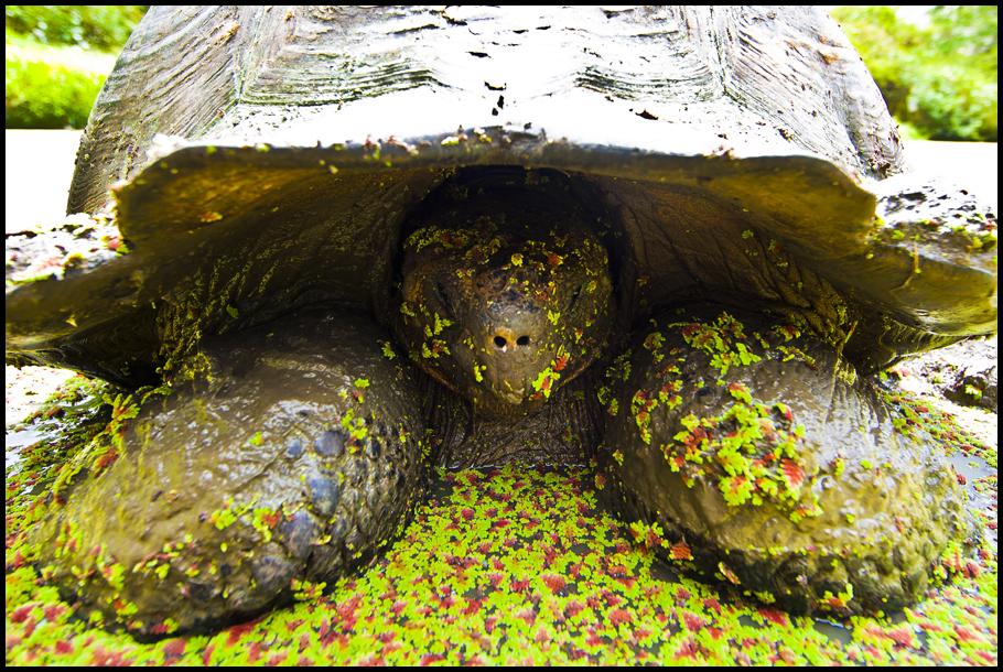 Giant Tortoise Up Close With Algae