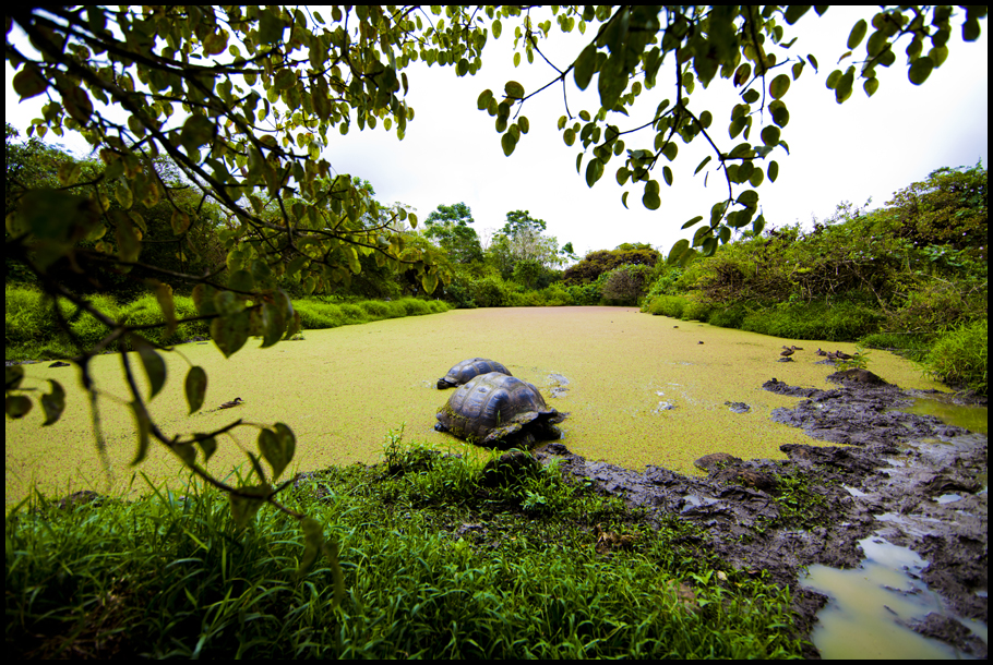 Giant Tortoises In Pond