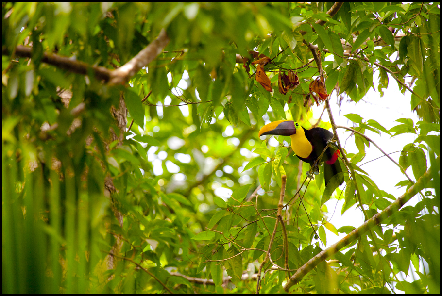 Toucan Gorgeous 2- small