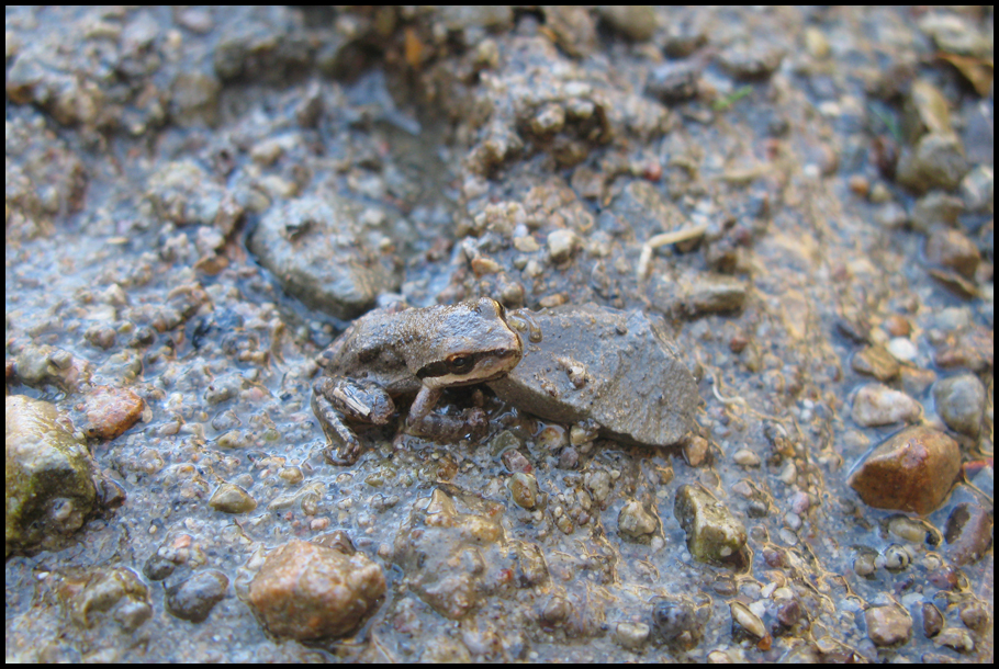 frog- small