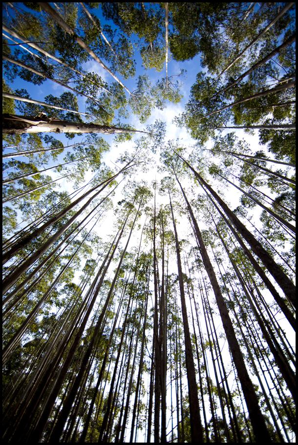 Vert Euc Forest