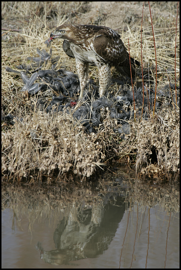 red tailed hawk eating coot- small